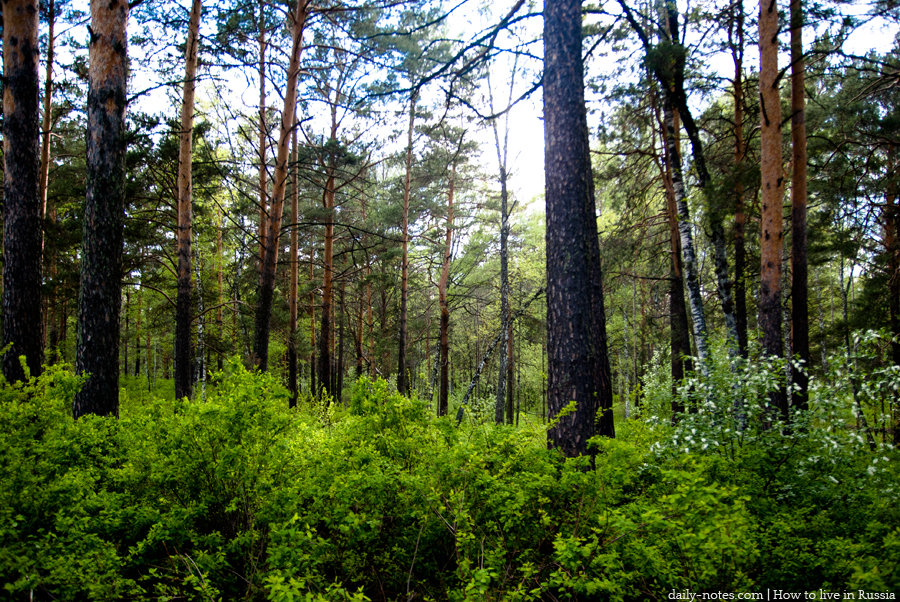 Siberian forest