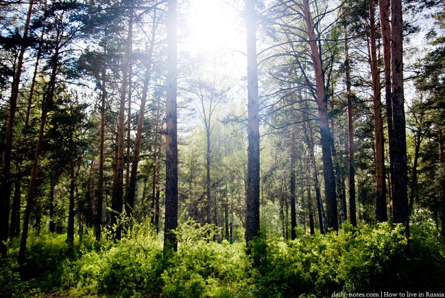 Siberian forest, pines