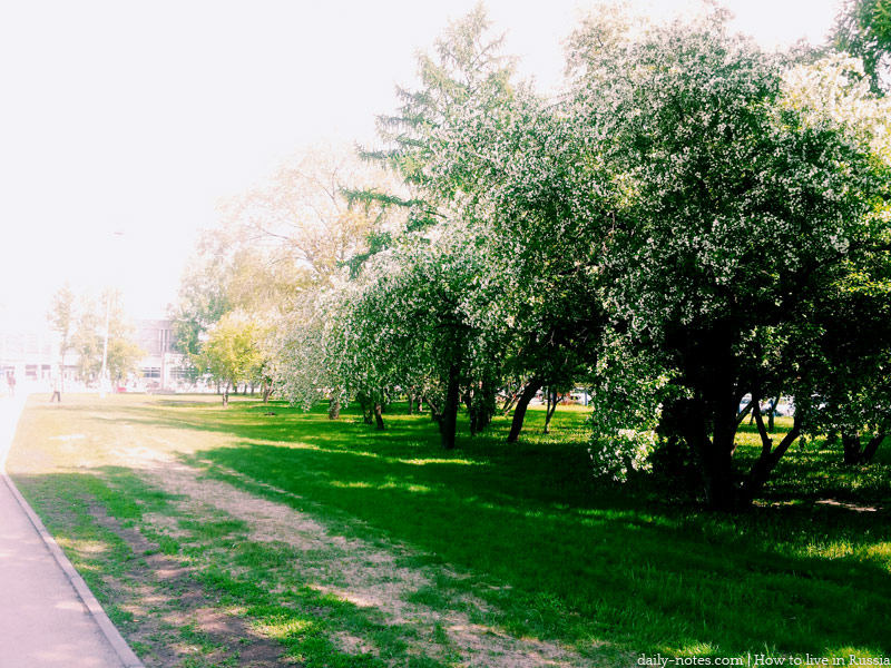 Bird cherry trees near the airport