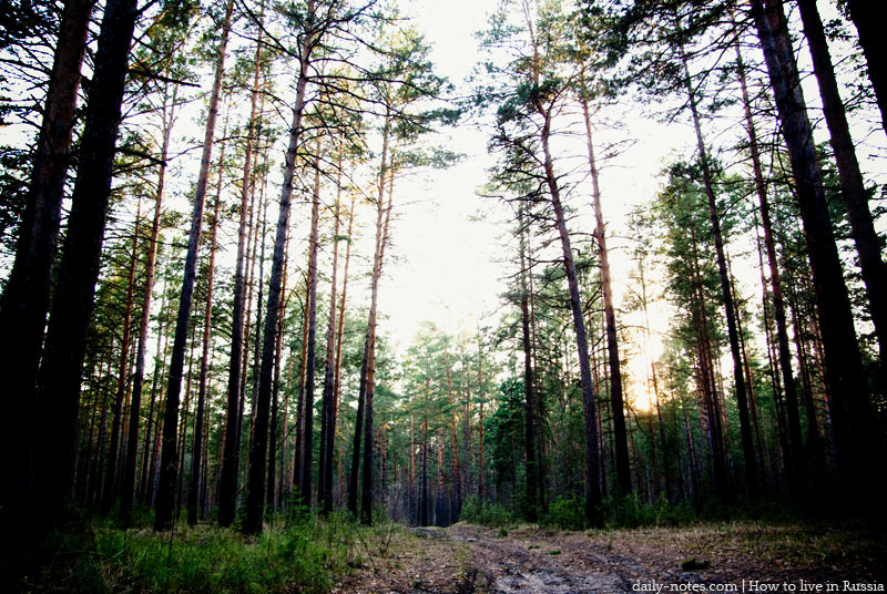 Siberian pine forest